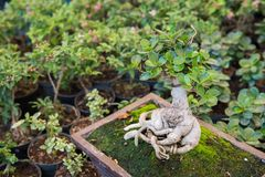 Ficus annulata tree and moss. In pot stock photos