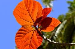 Ficus auriculata autumn leaves Stock Images