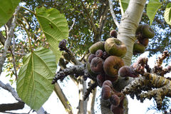 Ficus auriculata Roxburgh fig with lot of fruit Stock Photo
