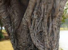 Ficus-Baumstammnahaufnahme Lizenzfreie Stockbilder