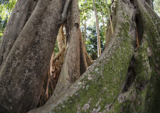 Ficus benghalensis, the Indian Banyan tree Royalty Free Stock Photography