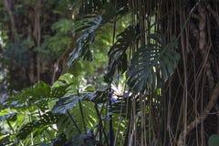 Ficus benghalensis, the Indian Banyan tree Royalty Free Stock Photos