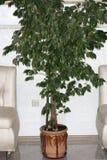Ficus beniamin, dracaena i klatka piersiowa w żywym pokoju między dwa kanapami, Domowy projekt, wnętrze i dekoracja, obraz royalty free