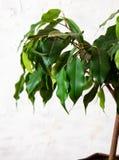 Ficus beniamin na białym tle Dom rośliny fotografia royalty free