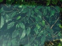Ficus beniaminu tło obraz stock