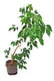 Ficus Benjamin στο δοχείο Στοκ Φωτογραφίες