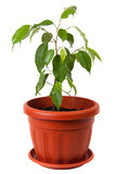 Ficus Benjamin Fotografia de Stock
