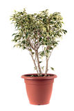 Ficus Benjamin Royalty Free Stock Photos