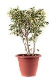 Ficus Benjamin Lizenzfreie Stockfotos