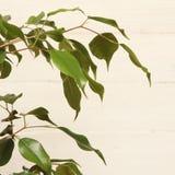 Ficus Benjamin Fotografia de Stock Royalty Free