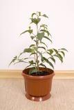 Ficus Benjamin Stockbild