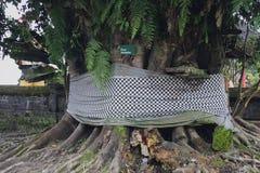 Ficus Benjamin, Bali Immagine Stock