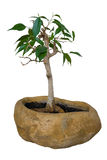 Ficus Benjamin bonsai Stock Photography