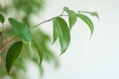ficus benjamin branch Royalty Free Stock Photography
