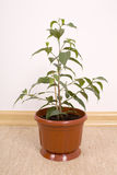 Ficus Benjamin Stock Image