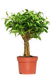 A Ficus Benjamin in a brown pot. A Ficus Benjamin (ficus benjamina natasja) in a brown pot isolated on white background Royalty Free Stock Photos