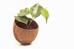 Ficus benjamin in coconut pot Royalty Free Stock Photography