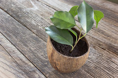 Ficus benjamin in coconut pot Stock Photo