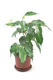 Ficus benjamin en el pote aislado Fotografía de archivo