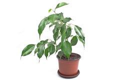 Ficus Benjamin im Topf Lizenzfreies Stockfoto