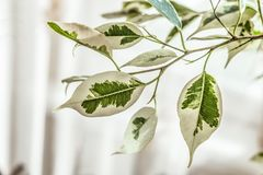 Ficus benjamin leafs. On a branch.  Plants background with limited depth of field Royalty Free Stock Photography