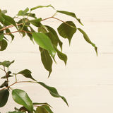 Ficus benjamin Royalty Free Stock Photography