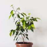 Ficus Benjamin Plant in ceramic pot on White Background.  royalty free stock image