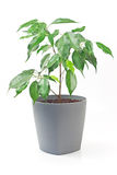 Ficus benjamin plant in pot isolated on white Royalty Free Stock Images