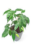 Ficus benjamin plant in pot  on white Stock Images