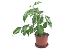 Ficus benjamin in pot Royalty Free Stock Photo