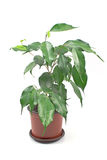 Ficus benjamin in pot isolated Stock Photography