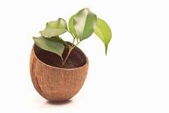 Ficus benjamin in vaso della noce di cocco Fotografia Stock Libera da Diritti