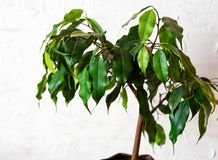 Ficus benjamin on a white background. House plants.  royalty free stock photo