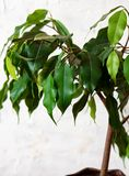 Ficus benjamin on a white background. House plants.  stock image