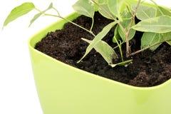 Ficus benjamin. Young ficus benjamin in a flower pot closeup stock photography