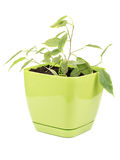 Ficus benjamin. Young ficus benjamin in a flowerpot isolated on a white background royalty free stock image