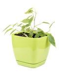 Ficus benjamin Royalty Free Stock Image