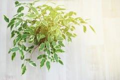 Ficus Benjamina Διακοσμητικό λουλούδι, στο παράθυρο, εκλεκτική εστίαση designed home interior living retro room style Στοκ εικόνα με δικαίωμα ελεύθερης χρήσης