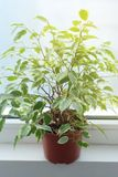 Ficus Benjamina Διακοσμητικό λουλούδι, στο παράθυρο, εκλεκτική εστίαση designed home interior living retro room style Στοκ Εικόνες