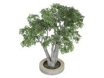 Ficus_benjamina Royalty Free Stock Image