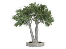 Ficus_benjamina Stock Photography