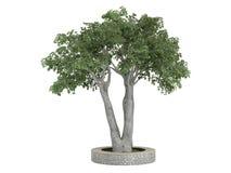 Ficus_benjamina. Rendered 3d isolated ficus benjamina on white background Stock Photography