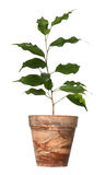 Ficus benjamina. Royalty Free Stock Photos
