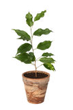 Ficus benjamina. Royalty Free Stock Photo