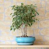 Ficus benjamina. Details of a ficus benjamina or weeping fig in flowerpot Stock Images