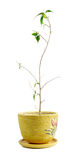 Ficus benjamina Fotografia Stock Libera da Diritti