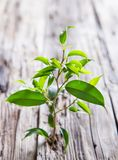 Ficus benjamina Lizenzfreies Stockfoto