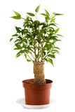 Ficus Benjamina stock fotografie
