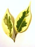 Ficus Benjamina royalty-vrije stock foto's