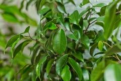 Ficus Benjamina Stockfotografie